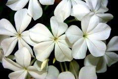 Instruction-macro des fleurs de plumbago Image libre de droits