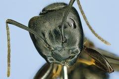 Instruction-macro extrême d'une fourmi de charpentier. Images libres de droits
