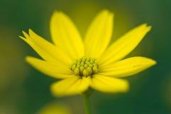 Instruction-macro jaune de fleur Images libres de droits