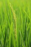 Instruction-macro le jeune riz vert dans le riz de zone Photos libres de droits