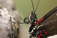Instruction-macro ofbutterfly Photographie stock libre de droits