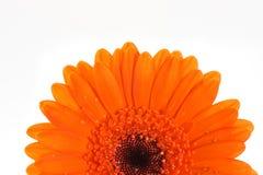 Instruction-macro orange de fleur de gerbera Photographie stock libre de droits
