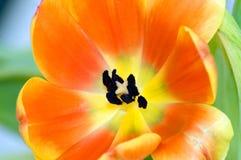 Instruction-macro orange de tulipe Images libres de droits
