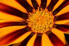 Instruction-macro orange et rouge de fleur Photo stock