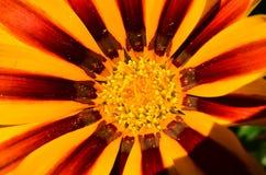 Instruction-macro orange et rouge de fleur Image libre de droits