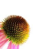 Instruction-macro pourpré de Coneflower (Echinacea) Photographie stock