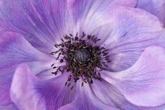 Instruction-macro pourpré de fleur d'anémone Photographie stock libre de droits
