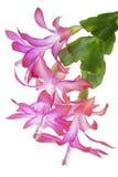 Instruction-macro rose d'intérieur de fleur images stock