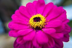 Instruction-macro rose de fleur Image libre de droits