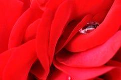 Instruction-macro rose de fleur de rouge Image libre de droits