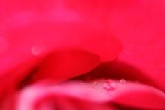 Instruction-macro rose de fleur de rouge Photographie stock libre de droits