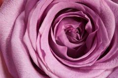 Instruction-macro rose de pourpre Photo libre de droits
