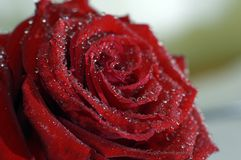 Instruction-macro rose de rouge Image stock