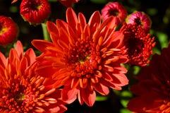 Instruction-macro rouge de fleur photos libres de droits