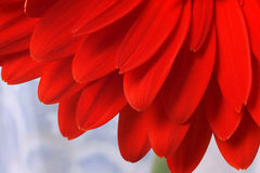 Instruction-macro rouge de gerbera de fleur. photos libres de droits