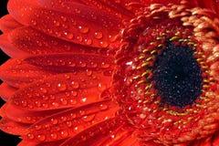 Instruction-macro rouge de gerbera de fleur. image libre de droits