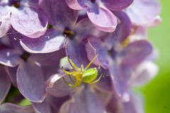Instruction-macro vert d'araignée Image stock