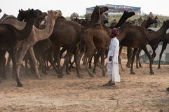 The instructor. Camel trader standing on the fair ground of Pushkar, Rajasthan, India and giving instructions to the camels Stock Photos