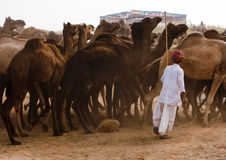 The instructor of camels. Camel trader walking with the camels and giving instructions to the camels on the fair ground of  Pushkar, Rajasthan, India Royalty Free Stock Photography