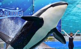 Instructor de la muchacha en la demostración de la orca fotografía de archivo