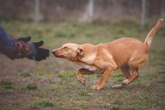 Instructor y su perro en curso de socialización Foto de archivo