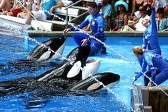 Instructores que alimentan orcas Fotos de archivo