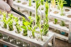 Instruisez le laboratoire explorant de nouvelles méthodes de sélectionnement de plantes image libre de droits