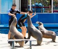 Instruktörer och sjölejon som utför i zoo royaltyfria foton