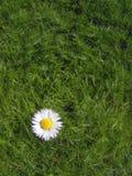 Insulated Daisy. Royalty Free Stock Photos