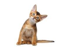 Intérêt de Kitty d'Abyssinien recherchant sur le fond blanc d'isolement image libre de droits