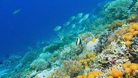 Intact coral wall with high density of reef fish. Moorish Idol.  stock footage