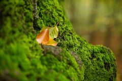 Intact moss and autumn leaves. In forest Royalty Free Stock Photos