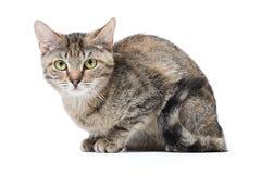Inte fullblods- strimmig kattkatt Arkivbild