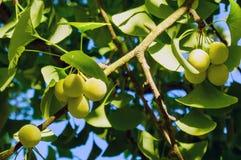 Inte mogen frukt och sidor som hänger från trädginkgoen Biloba royaltyfria foton