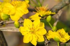 Integerrima del Ochna, el símbolo del Año Nuevo lunar vietnamita en el sur El amarillo de oro de la flor significa las raíces nob Imagenes de archivo