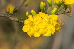 Integerrima del Ochna, el símbolo del Año Nuevo lunar vietnamita en el sur El amarillo de oro de la flor significa las raíces nob Imágenes de archivo libres de regalías