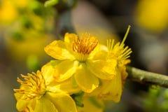 Integerrima del Ochna, el símbolo del Año Nuevo lunar vietnamita en el sur El amarillo de oro de la flor significa las raíces nob Fotos de archivo libres de regalías