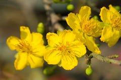 Integerrima del Ochna, el símbolo del Año Nuevo lunar vietnamita en el sur El amarillo de oro de la flor significa las raíces nob Foto de archivo