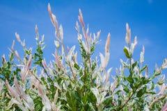 Integra 'Hakura Nishiki' del Salix Foto de archivo