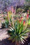Integrale della pianta di caesia dell'aloe con i fiori Fotografie Stock