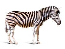 Integrale della zebra Fotografia Stock