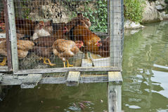 Integrated Chicken Cage above Fish Pond. Chickens live in a coop over a fish pond and their droppings enrich the water of the pond and enhance Stock Images