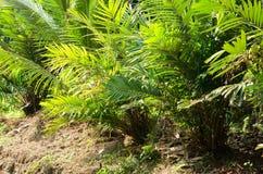 Salacca plantation beside the waterway stock image