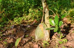 Small jackfruit tree with wrap bag jackfruit on ground. Integrated Farming System by planting two or more plant in the same place is famous Agricultural system stock images