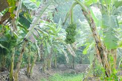 Banana plantation beside the waterway stock image