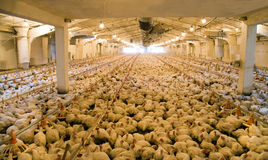 Integrated poultry farm. A considerable quantity of the adult hens (broilers) which are in hen house in territory of an integrated poultry farm Stock Photos