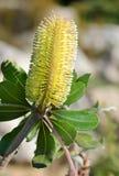 integrifolia banksia Стоковое Изображение RF