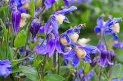 Integrifolia della clematide, una pianta di giardino piacevole Fotografia Stock Libera da Diritti