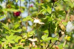 Inteiramente uma flor castanho-avermelhado da flor da árvore do algodão foto de stock
