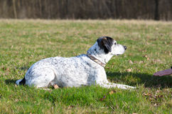 Inteligentny pies uczy się wantowego rozkaz fotografia stock